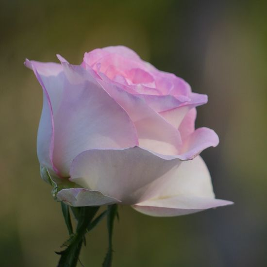 Rosé Flower Petal Fragility Flower Head Beauty In Nature Nature Close-up Focus On Foreground Day Outdoors Pink Color Plant Freshness Growth Blooming