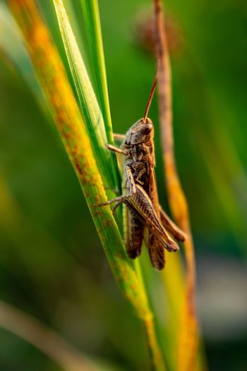 Grasshoper model. Nature Nature Photography EyeEmNewHere Bugs Grasshopper Insect Leaf Close-up Animal Themes Plant Green Color Animal Leg Animal Antenna