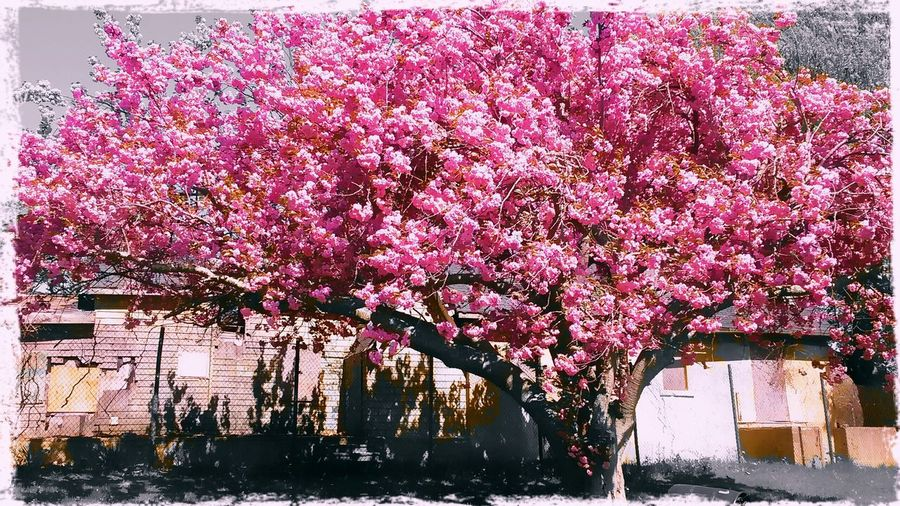 PrettyInPink Springishere Pink Flowers Tree Blooms Parkbeauty Sun Color Enjoying Life