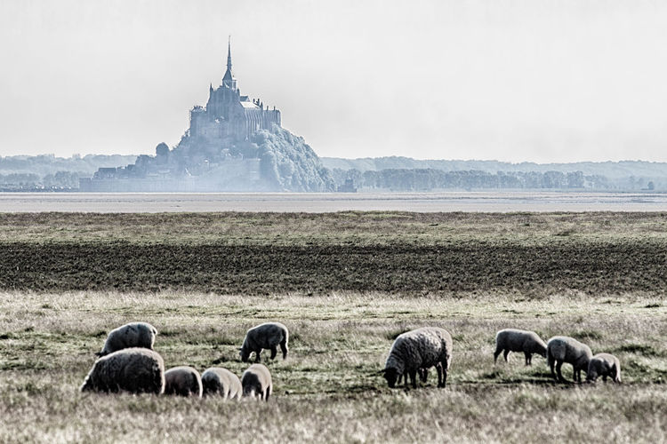 Foggy Foggy Day Landscape Landscape_Collection Landscape_photography Mont Saint Michel Mont Saint-Michel Abbey Mont Saint-Michel Bay Nature Normandie Normandie, France Sheep