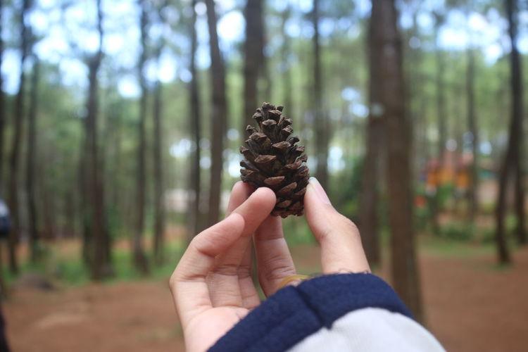 Pine Pine Pine Tree Pine Woodland INDONESIA ASIA Yogyakarta Jungle EyeEm Selects Tree Nature Forest Outdoors One Person