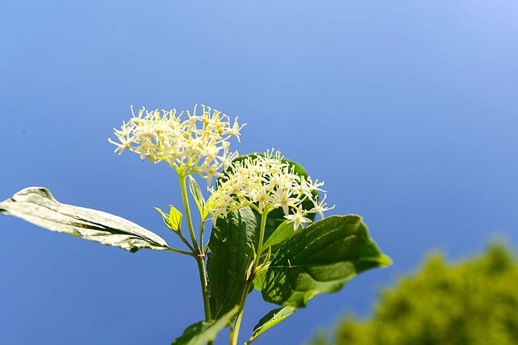 Cornus Sanguinea Common Dogwood Botany Shrub Blossom EyeEm Selects Plant Growth Beauty In Nature Nature Flower Flowering Plant Leaf Vulnerability  Fragility Plant Part Close-up Low Angle View Blue Day No People Green Color Clear Sky Sky Focus On Foreground Freshness