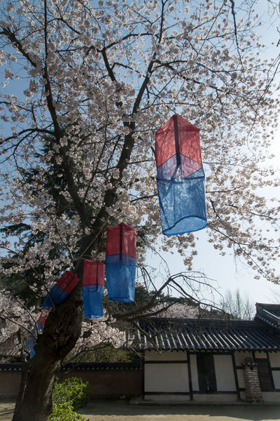rural scene in spring time, Gangreung, Gangwondo, South Korea Architecture Bare Tree Branch Building Exterior Built Structure Cheongsachorong Cherry Blossoms Day Flag Flower Growth Hanging House Lantern Low Angle View Morning Nature No People Outdoors Patriotism Rural Sky Spring Tree