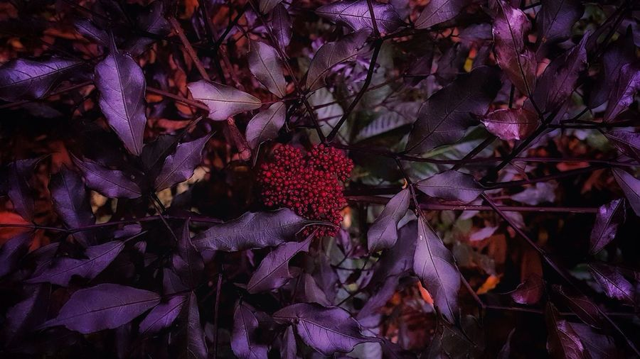EyeEmNewHere Leea rubra, small tree with dark green to violet leaves and dark red flower buds. Colour Of The Year 2017 Benjamin Moore Violet Purple Lilac Dark Red  Shades Of Red Shades Of Red And Blue Foliage Foliage Texture Background Textures And Surfaces Pattern, Texture, Shape And Form Nature Leea Growth Close-up Valentine's Day  Brazil Freshness Dusk Shrub Beauty In Nature Gothic