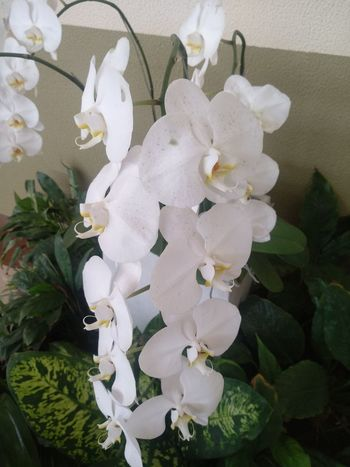 White Orchid Flower Garden Flower Gardens Flowers,Plants & Garden Garden Flowers INDONESIA Flowering Plant Indonesia Photography  Flower Collection Beauty Indonesia Orchids Garden Bunga INDONESIA Orchidslover Orchid Flower Flowering Plant Flower Head Flower Water White Color Close-up Plant Orchid In Bloom