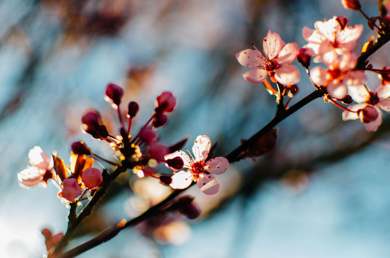 Flower Flowering Plant Plant Growth Beauty In Nature Fragility Vulnerability  Freshness Selective Focus Close-up Petal Springtime Branch Blossom Tree No People Inflorescence Flower Head Nature Twig Pollen Pink Color Cherry Blossom Outdoors Cherry Tree