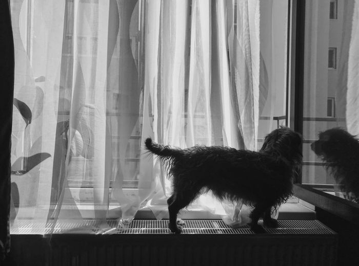 Bnw Black And White Blackandwhite Flower Window Wirehaired Doxie Curtain Window Pets One Animal Mammal Domestic Animals Domestic No People Animal Animal Themes Vertebrate Window Sill Domestic Cat Indoors  Day Glass - Material Feline Canine Dog