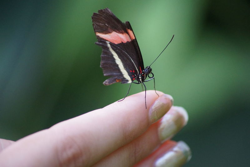 Butterfly - Insect Day Focus On Foreground Holding Human Finger One Animal Outdoors Unrecognizable Person