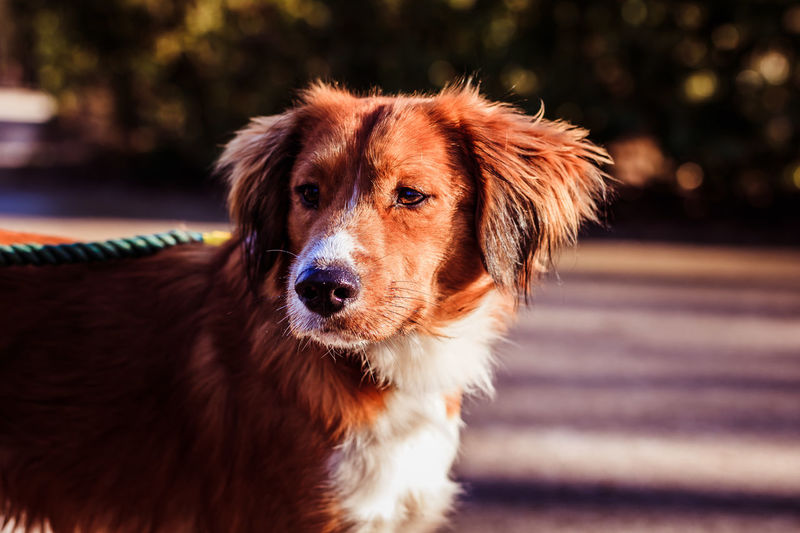 Appie Kindergarten Loykratong Nova Scotia Duck Tolling Retriever Animal Themes Breed Specific Legistlation, Close-up Day Dog Domestic Animals Door Focus On Foreground Looking At Camera Mammal No People One Animal Outdoors Pets Playful Cat Portrait