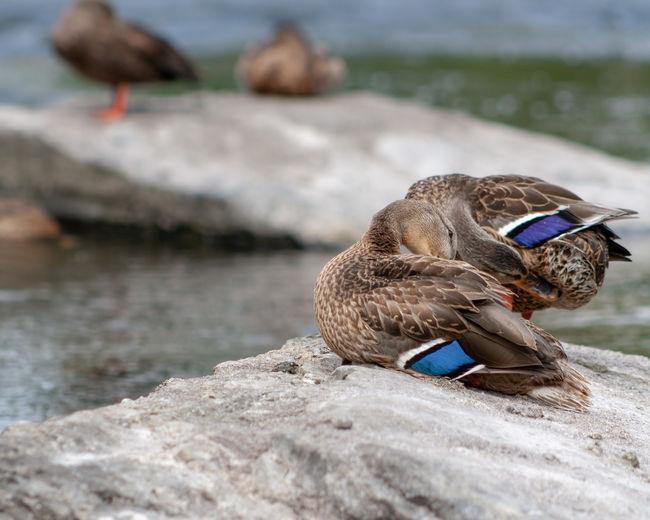 Ducks on the