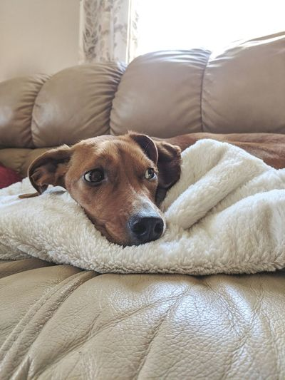 Ky's Warm Fuzzies Sunshine ☀ Sunshine Inside Dog Pet Solodog Ears Inside Pet Dogs Of EyeEm Dogs Sunny Pets Dog Portrait Beagle Relaxation Sofa Lying Down Close-up Blanket Canine Wrapped In A Blanket At Home Adult Animal Pampered Pets Home Pet Bed
