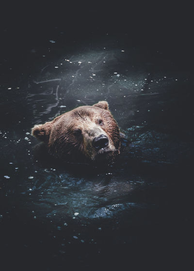 Grizzly bear swimming in alaska