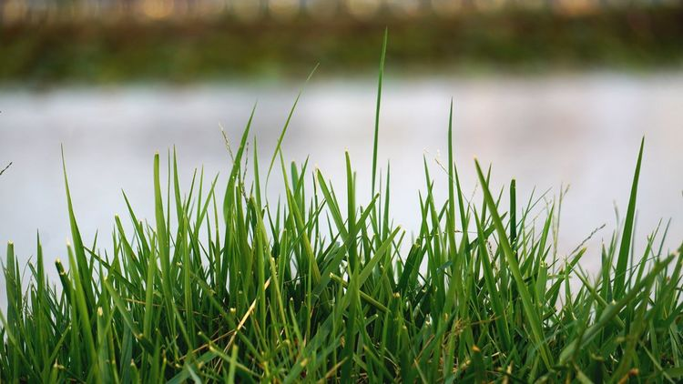 The Green grass beside the river. Beside Beatyful Nature Nature River Green Color Growth Grass Nature Tranquility Beauty In Nature Tranquil Scene Outdoors Day No People Field Focus On Foreground Plant Green Color Water Freshness Close-up Scenics