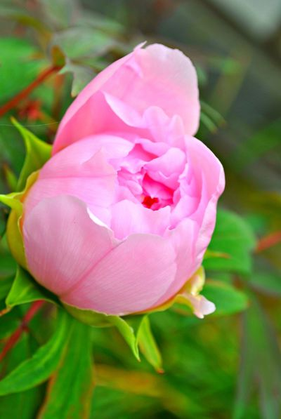 Beauty In Nature Blooming Close-up Day Flower Flower Head Fragility Freshness Garden Growth Nature No People Outdoors Peony  Petal Pink Color Plant Rose - Flower Postcode Postcards