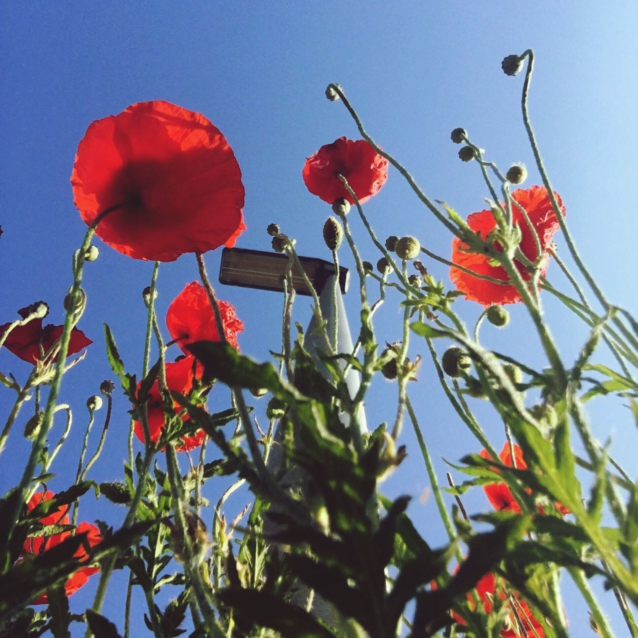 flower, growth, beauty in nature, nature, red, low angle view, petal, plant, fragility, freshness, no people, day, outdoors, blooming, poppy, sky, close-up, flower head