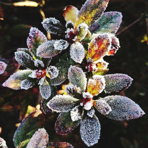 Brina Forst Garden Leaf Foglie Gelo Flower Head Flower Close-up Plant