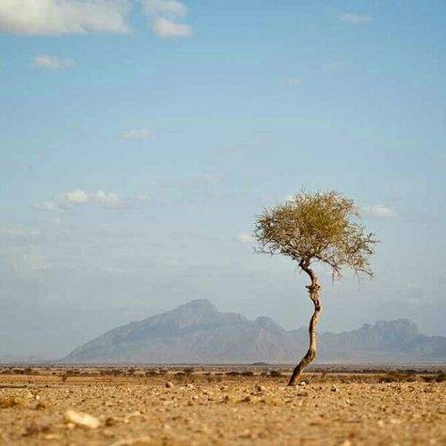That is a tree dear, in some places there are so many that you can't even see the lions coming! Kenya Desert Tree