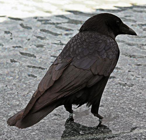 RAVEN Raven Animal Themes Animal Wildlife Animals In The Wild Bird Close-up Day One Animal Raven - Bird Water