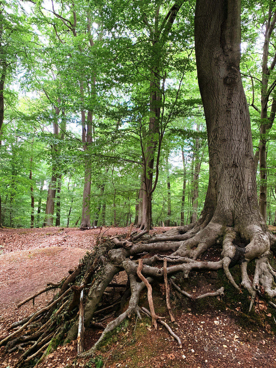 VIEW OF TREE ROOTS IN FOREST
