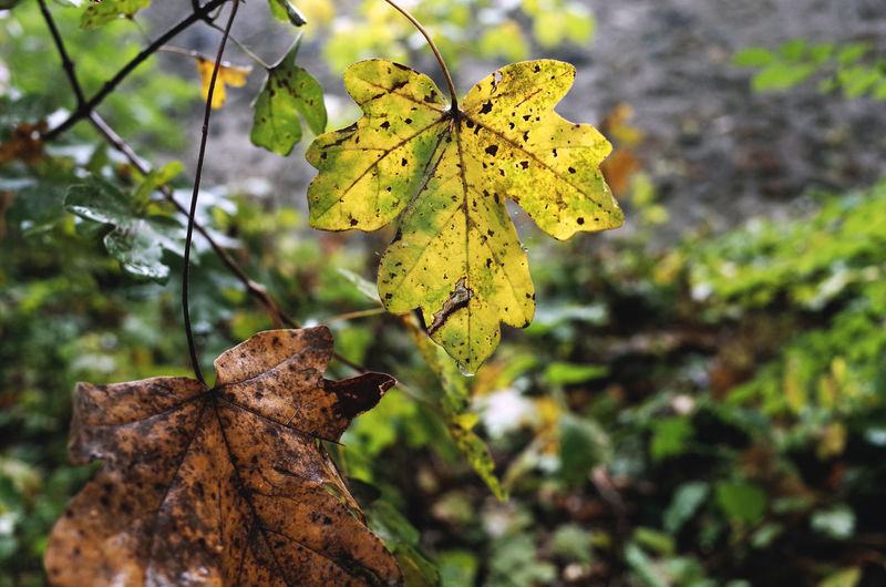 autumn 2016 Autumn Autumn Colors Autumn Leaves Beauty In Nature Botany Close-up Damaged Focus On Foreground Fragility Green Green Color Growing Growth Leaf Leaf Vein Leaf 🍂 Leaves Leaves🌿 Natural Condition Nature Outdoors Plant Season  Seasons Tranquility