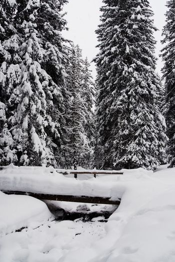 Tree Snow Winter Cold Temperature Plant Nature Land Beauty In Nature Covering Scenics - Nature Day Tranquility Forest No People Growth Tranquil Scene Non-urban Scene Frozen White Color Outdoors Coniferous Tree Pine Tree Snowcapped Mountain Bridge