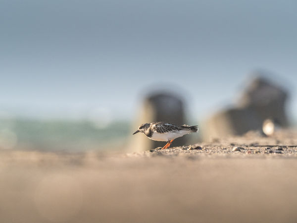 Helgoland Helgoland_collection Atlantic Ocean Germany Animal Animals In The Wild Animal Wildlife Animal Themes Selective Focus Day Land Sky Nature Bird One Animal Insect Clear Sky Invertebrate Vertebrate Close-up Beach Outdoors Surface Level Turnstone