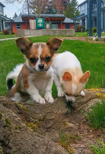 Chihuahua Puppies Chihuahua-Mix Chihuahua-Pomeranian Check This Out Puppy Puppies Playground Grass Houses Pets Portrait Dog Architecture Building Exterior Built Structure Grass