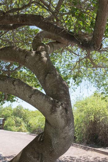 Branch Galapagos Giftig Hippomane Mancinella Manchineel Manzanilla De La Muerte Manzanilla Tree Nature No People Puerto Ayora Santa Cruz Galapagos Toxic Tree Tree Trunk Äpfelchen Des Todes