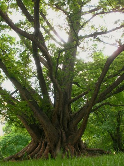 Nature Tree Outdoors Wood Dawn Redwood ASIA Shadow Green Oxygen Photosynthesis Madison Wisconsin UW Madison