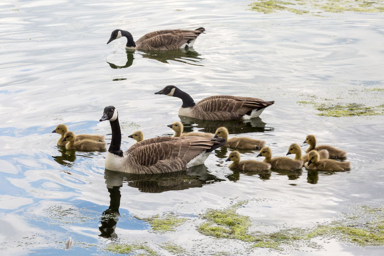 A family of geese Animal Themes Animal Wildlife Animals In The Wild Bird Day Geese Goose Gosling Lake Nature No People Outdoors Swimming Water Water Bird Waterfront