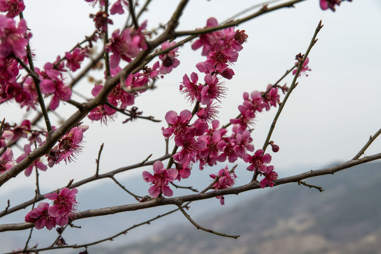 Ume Flower Village in Gwangyang, Jeonnam, South Korea Beauty In Nature Blossom Branch Close-up Day Flower Flower Head Fragility Freshness Growth March 2017 Nature No People Outdoors Pink Color Plum Blossom Sky Spring Spring Flowers Springtime Tree Ume Flower