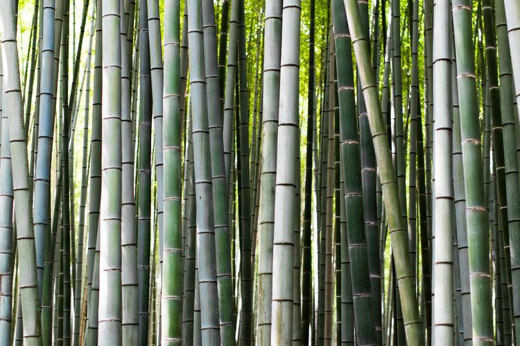 Full frame shot of bamboos in forest