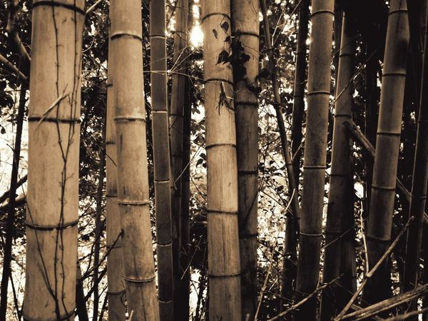 Backgrounds Bamboo Close-up Denseforest Full Frame Nature Sepia Side By Side Sunlight