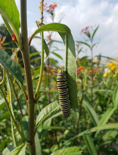 Leaf Milk Weed Monarch Caterpillar Caterpillar Garden Beauty In Nature Pennsylvania Beauty Tranquil Scene Tranquility Beautiful Butterfly Caterpillar Agriculture Close-up Sky Plant Plant Life Growing Blooming Stem Scenics Idyllic Calm Insect Bug Countryside
