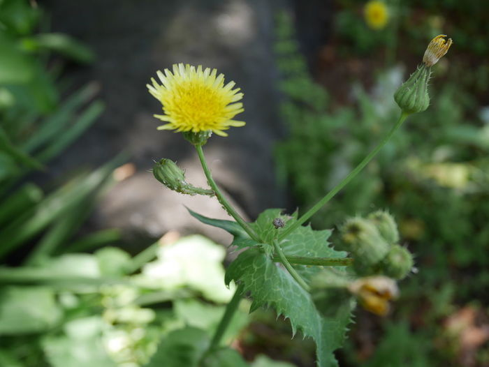 Japan Dandelion Yellow Flower Beauty In Nature Close-up Dandelion Flower Flower Head Flowering Plant Green Color Growth Leaf Nature No People Outdoors Plant Plant Part Spring Springtime Yellow Yellow Color