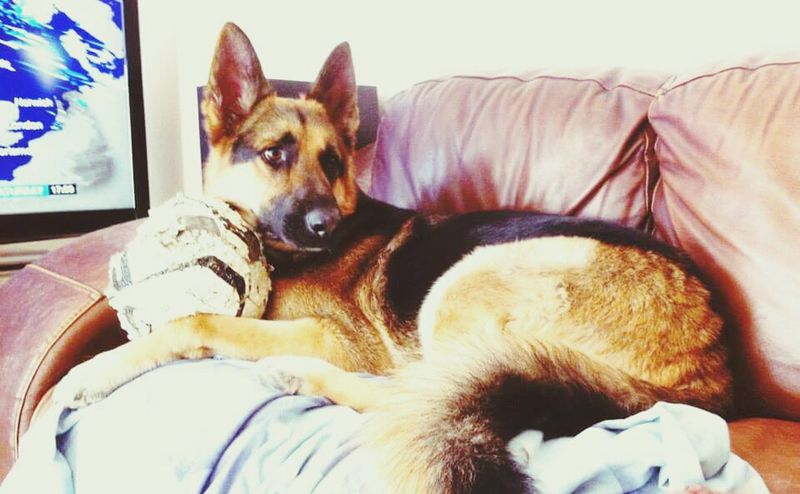 Dogs Enjoying Life Loyalty Tyzer Bestfriend Love Dogs Pets German Shepherd Dog Dog With A Ball Indoor Dog Resting Dog Relaxing  Dog On The Sofa