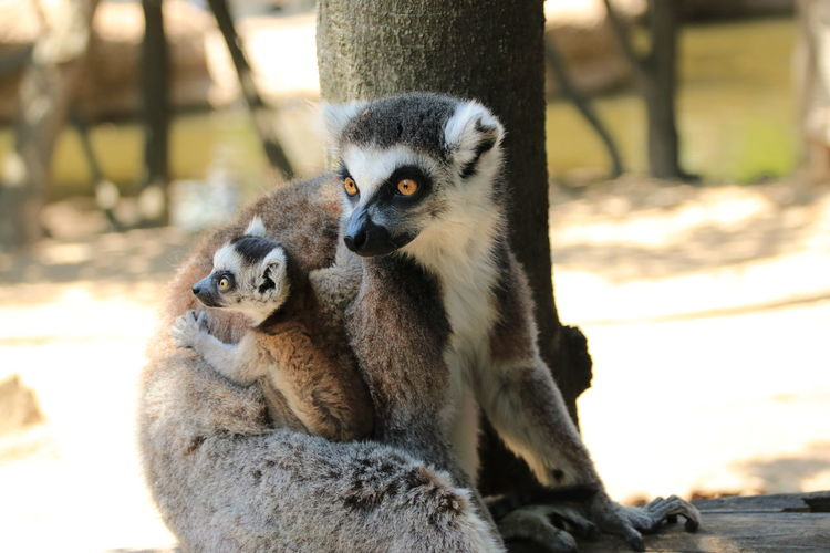 Zoo Ring-tailed