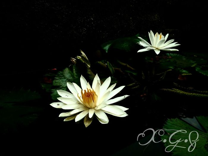 Deceptively Simple Lotus Flower White Lotud EyeEm Nature Lover Nature_collection Nature Photography Nature Pond