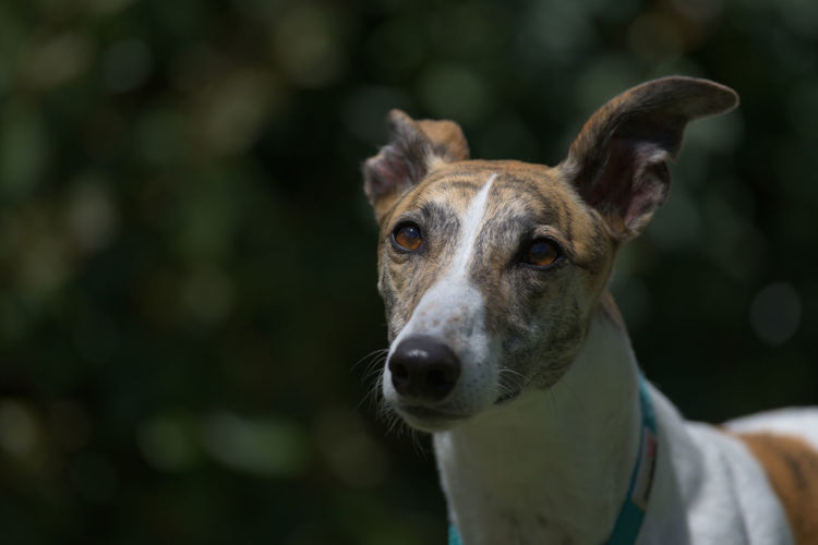 Close-up portrait of dog against blurred background. brindle and white grey hound looking away