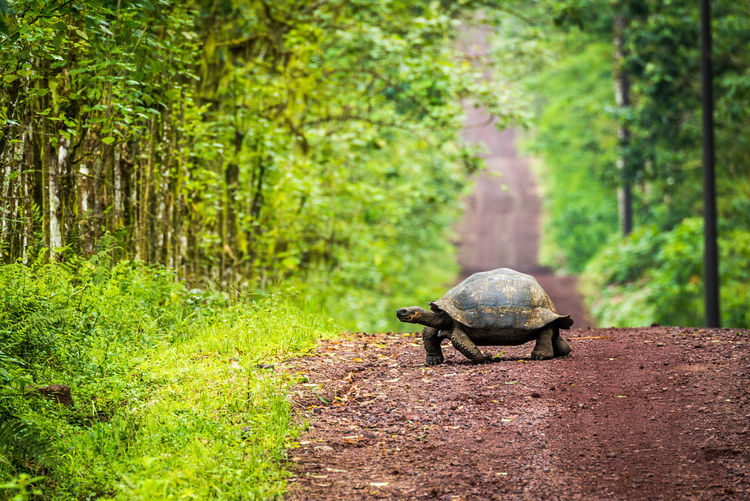 Galapagos giant tortoise on road at forest
