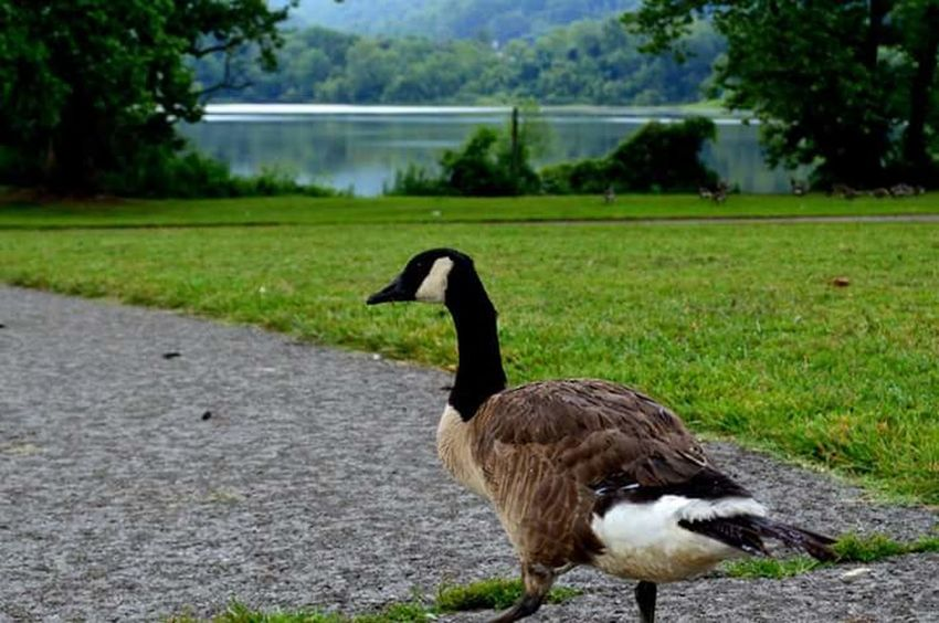Hanging Out Taking Photos Naturephotography Geese Geese At The Lake Geese On Land Caryville Tennessee Cove Lake State Park Summer 2016 Lake Park