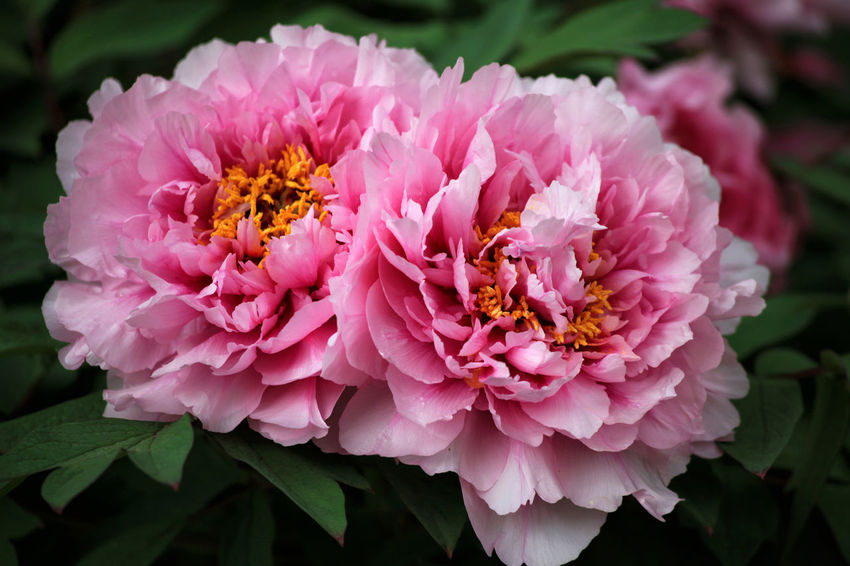 Two pink peonies in the garden Peonies Beauty In Nature Close-up Day Flower Flower Head Focus On Foreground Fragility Freshness Growth Inflorescence Leaf Nature No People Outdoors Pair Peony  Petal Pink Color Plant Plant Part Pollen Summer Two