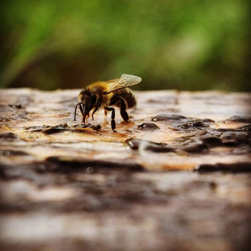 Close-up of honey bee on wet rock