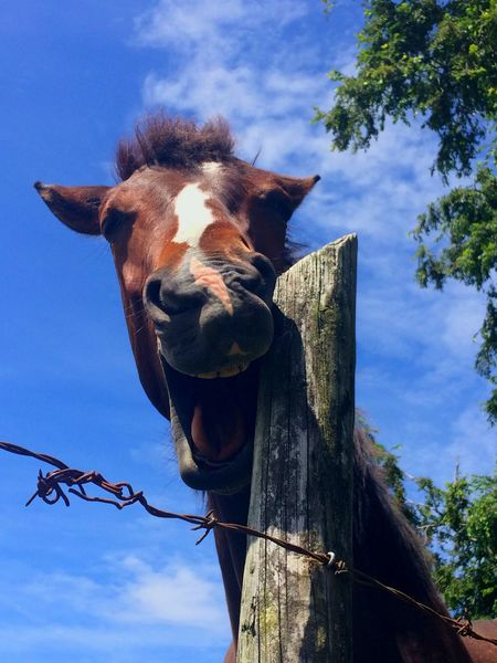 Laughing foal 🐴 EyeEmNewHere Baby Horse Foal Smiling Horse Funny Pics FUNNY ANIMALS Teeth Model Teeth Horse Domestic Animals Sky One Animal Low Angle View Animal Themes Mammal Animal Head  Outdoors Looking At Camera Portrait Day No People