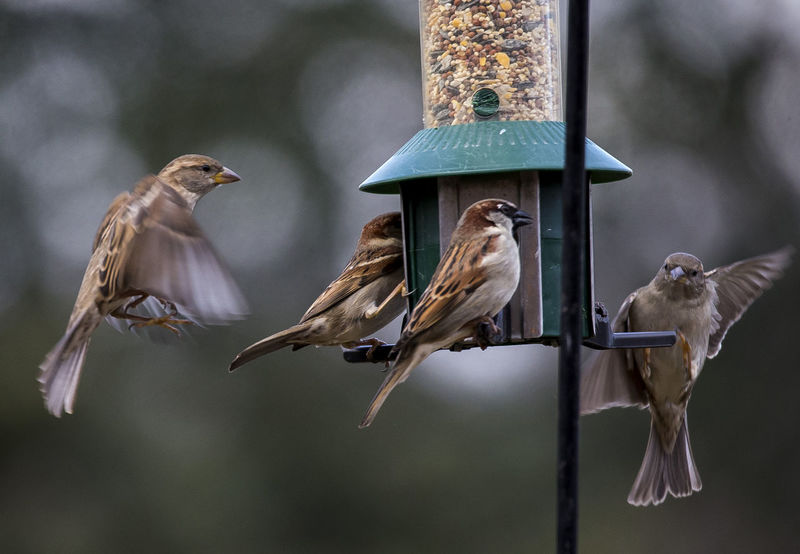 In mid air Avian Collection Nature Bird Feeder Hanging Birds Birds In Flight Fluttering Wings Hovering Birds Sparrows Feeding Sparrows Flying Wings