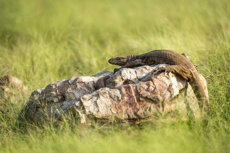 Lizard on a field