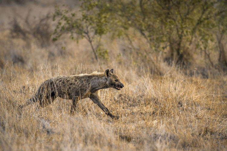 Hyena walking on land