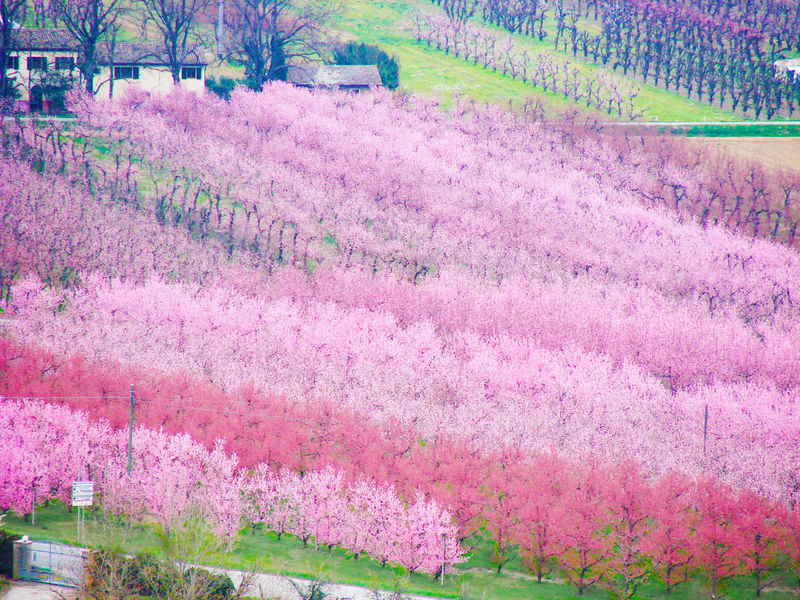 Spring landscape in countryside of Romagna with blossom peach. Agriculture Beauty In Nature Countryside Emilia Romagna Field Flower Head Fruit Garden Italy Nature Orchard Peach Blossoms Peach Flowers Peach Trees Pink Color Romagna Rural Scene Spring