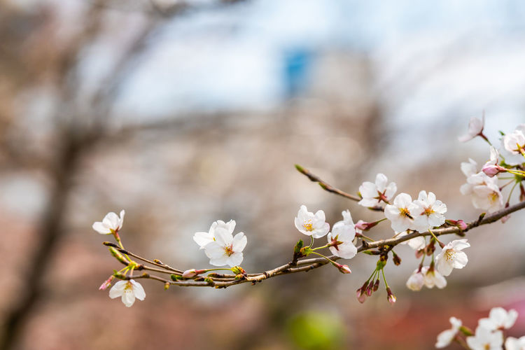 Cherry blossom in spring for background or copy space for text Flowering Plant Flower Plant Freshness Fragility Beauty In Nature Vulnerability  Growth Tree Blossom Springtime Close-up Branch White Color Focus On Foreground Nature Day No People Twig Petal Cherry Blossom Flower Head Outdoors Cherry Tree