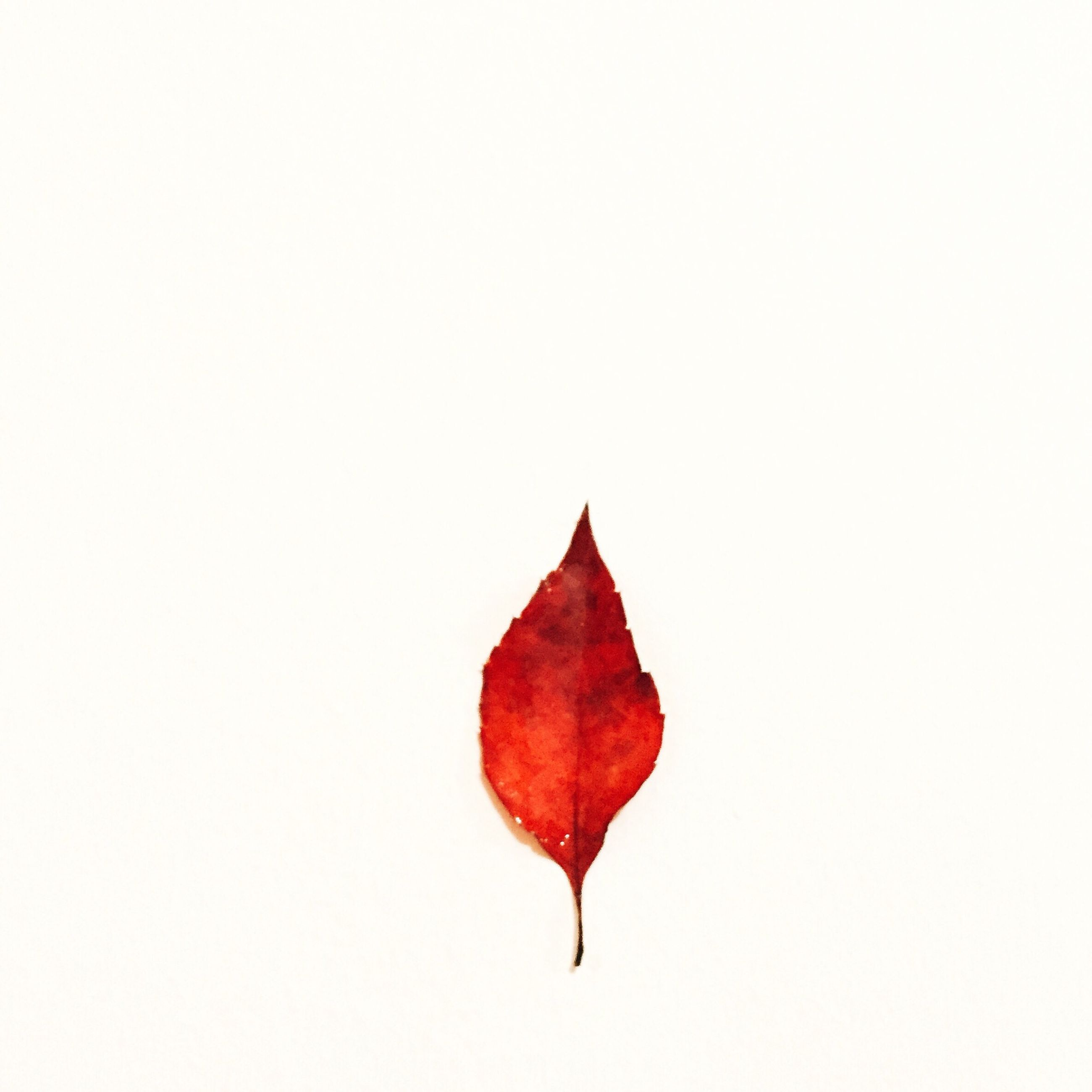 red, autumn, leaf, change, copy space, studio shot, season, white background, leaf vein, clear sky, close-up, leaves, maple leaf, natural pattern, nature, dry, single object, no people, vibrant color, day